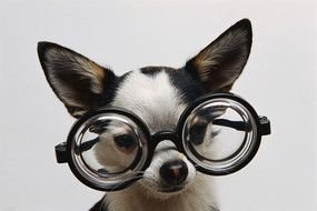 chihuahua puppy in glasses