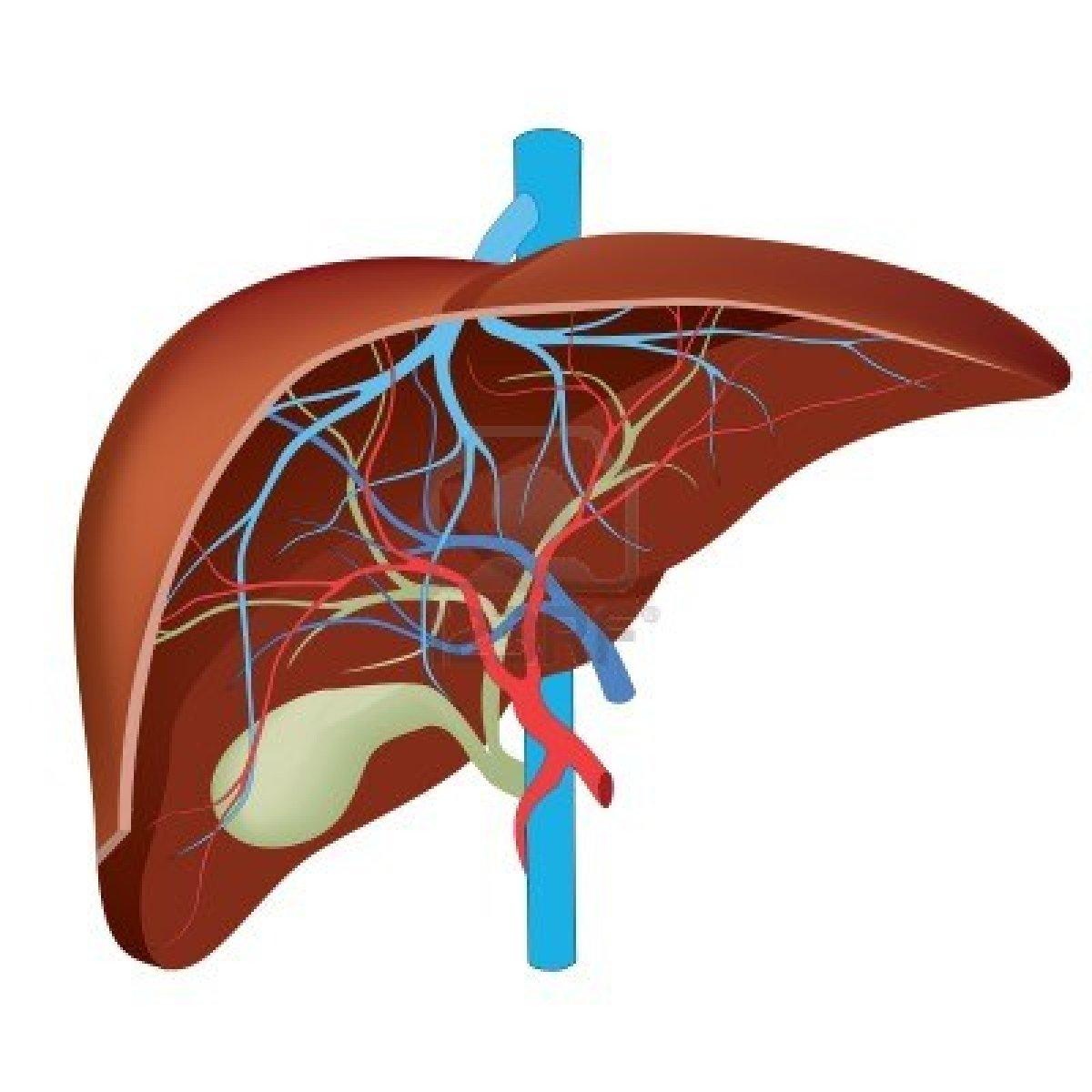 Human Liver Diagram Drawing Free Image