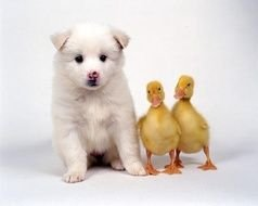 Cute white puppy dog and two yellow ducklings