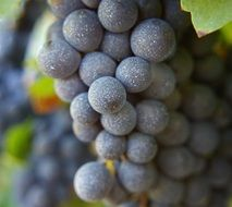ripe grape cluster close up