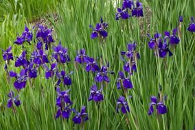 lot of blue irises on flower bed