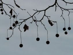tree seeds on a background cloudy sky