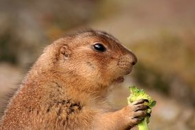 prairie dog with a green plant in its paws