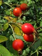 bright red rosehip berries