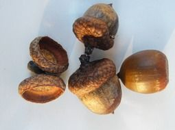 acorns fruits