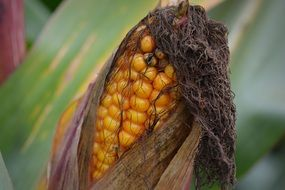 brown fresh corn cob