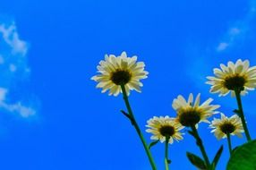 daisies white bloom sky view