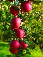apple tree vitamins fruit