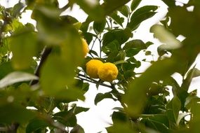 lemon tree with fruit