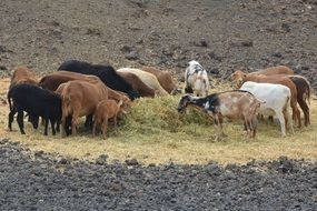 goats animals herd outdoors
