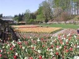 gardens of tulips in Holland