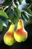 two ripe bright pears on a branch