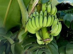 organic banana bunch on palm