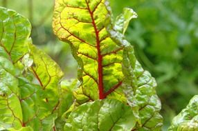 beet leaves in the sunlight