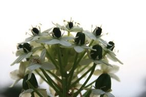 ornithogalum arabica is a species of asparagus