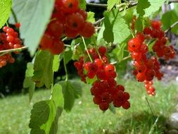 currants during harvest
