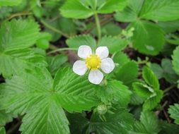 flower of a wild strawberry