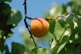 apricot fruit south provence