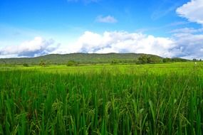 rice cultivation green fields landscape