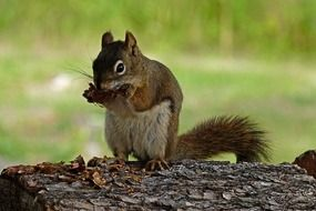 squirrel with a nut on a log