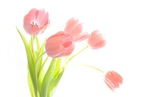 graphic image of a bouquet with pale pink tulips