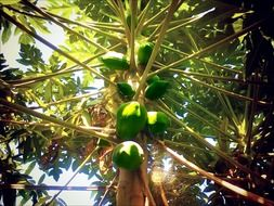 green papaya on tree