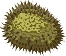 green durian fruit with needles