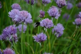purple chives blossom with insect