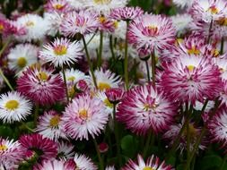 lot of pink fluffy daisy flowers