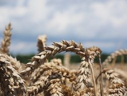 wheat spikes in the summer