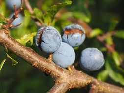 pluns berries blue bush fruit