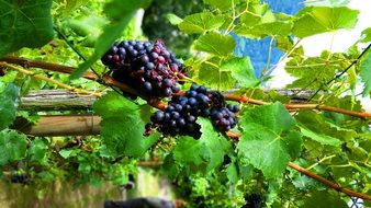 blue grapes on vine, italy, south tyrol