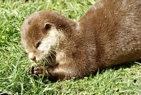 otter on green grass