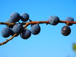 schlehe blue berries bush fruit
