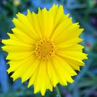 coreopsis floral
