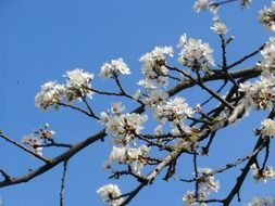 white flowers on a branch without leaves against a blue sky