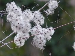 clematis plant with fluffy seeds