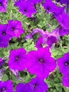 purple petunia outdoors