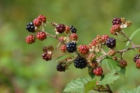 blackberry grows on a branch in the forest