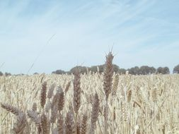 agriculture cornfield field