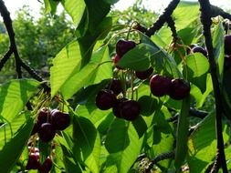 cherry sweet red fruit tree