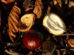 chestnut fruit on the ground