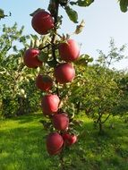 juicy vinous apples on a branch
