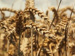 triticum aestivum- kind of perennial herbaceous plants of the genus Wheat