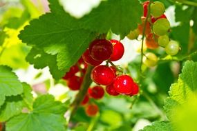sprig of sour red currant on the tree