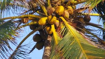 coconut tree fruit