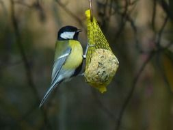 A titmouse extracts food