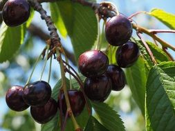 purple black cherries