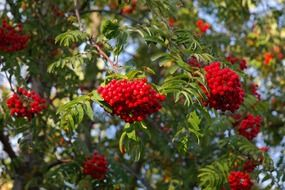 mountain ash fruits