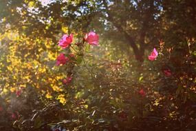 wild rose flowers in the sun